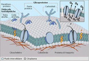 Rappresentazione schematica di una membrana cellulare.